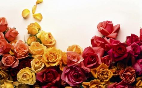 Ý nghĩa các loại hoa hồng cho ngày quốc tế phụ nữ - elleman - 0