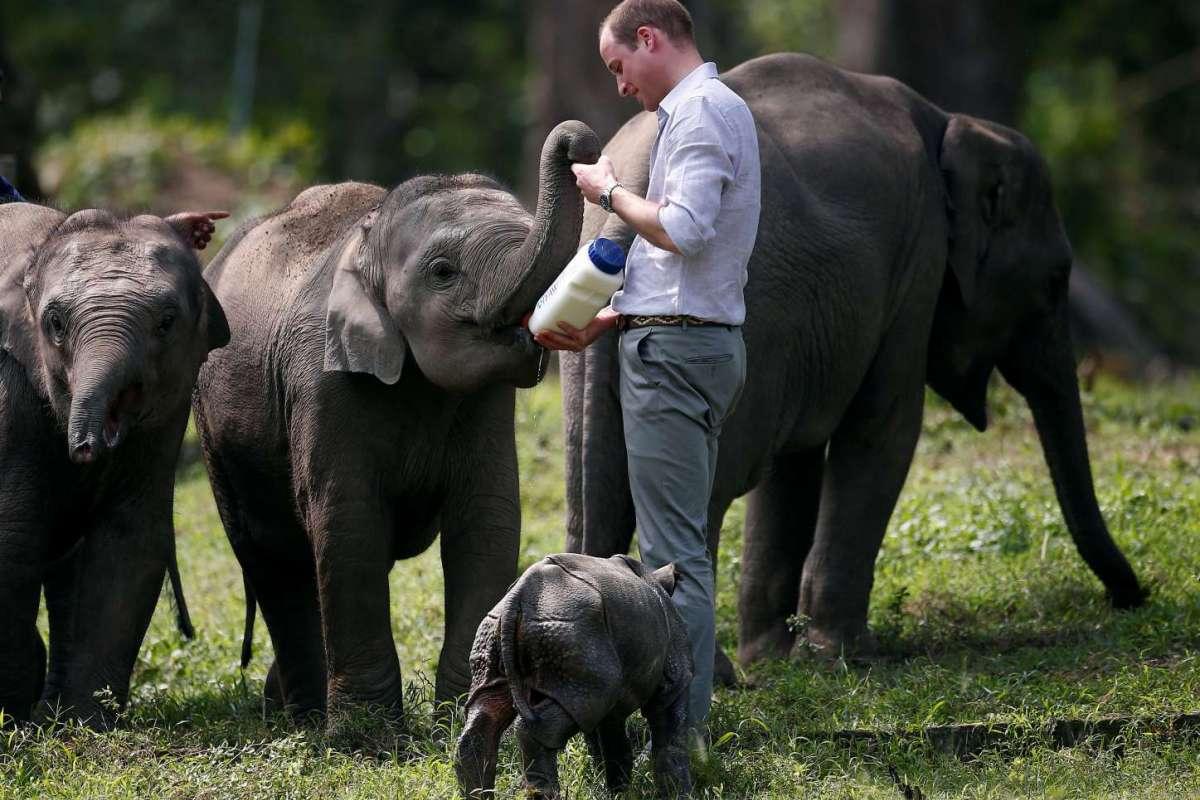 hoàng tử William cho voi bú sữa.