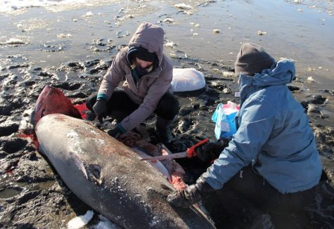 khu vuc bac my credit Atlantic White Shark Conservancy - elle man