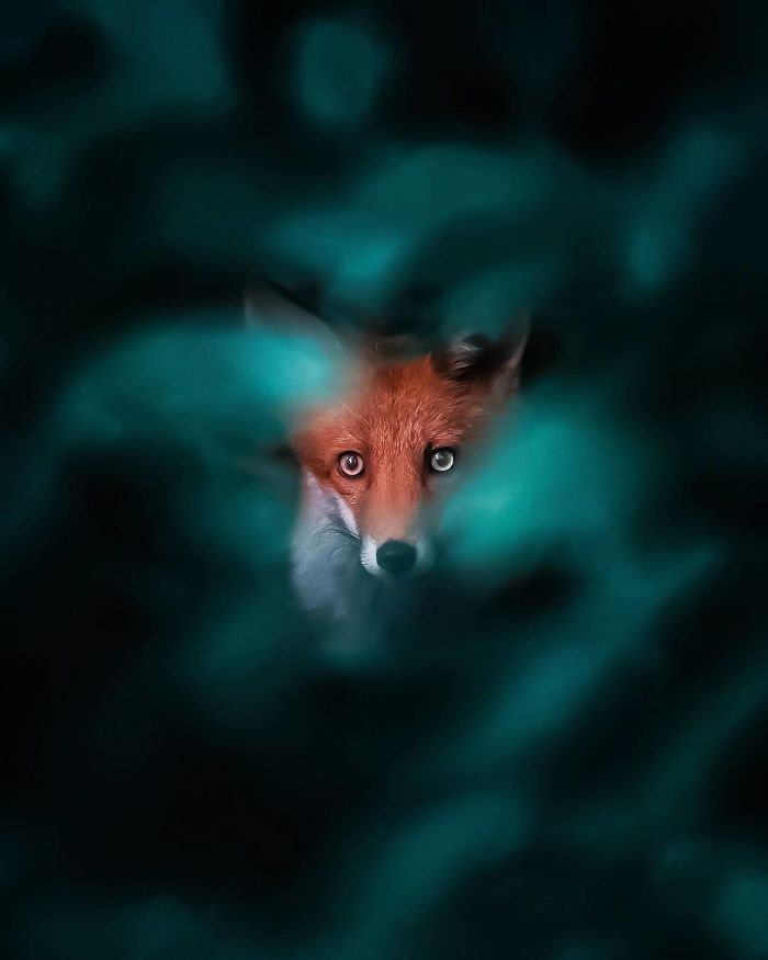 bộ ảnh đẹp về loài cáo 1 -elleman