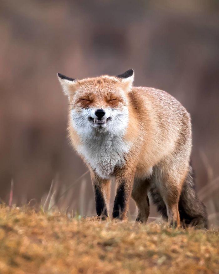 bộ ảnh đẹp về loài cáo 13 -elleman
