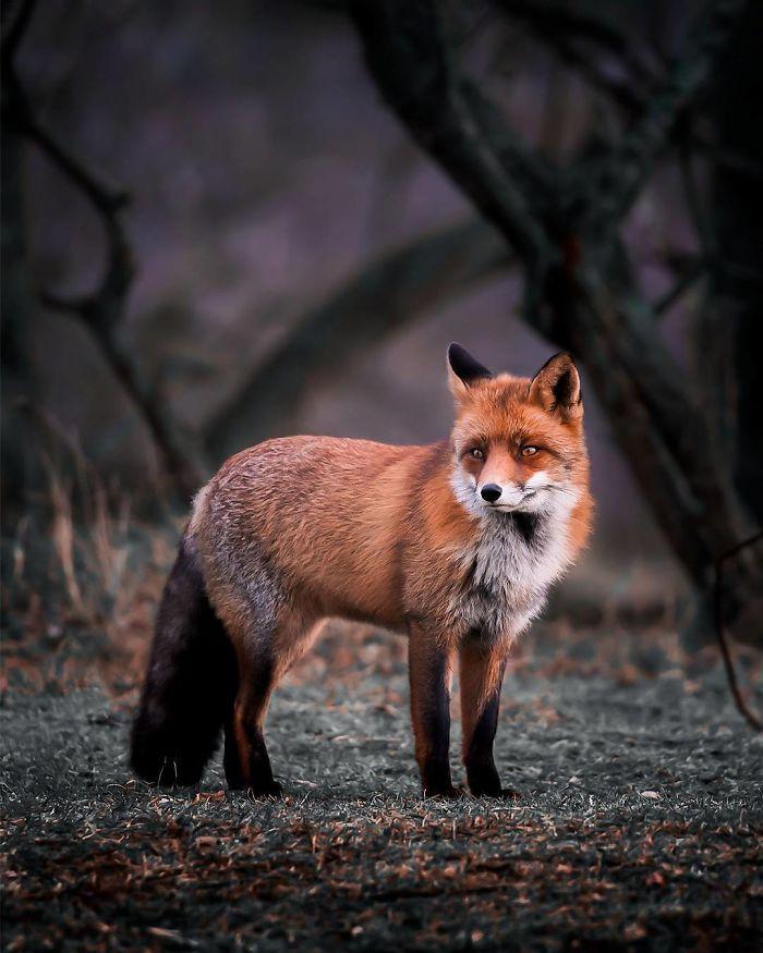bộ ảnh đẹp về loài cáo 15 -elleman