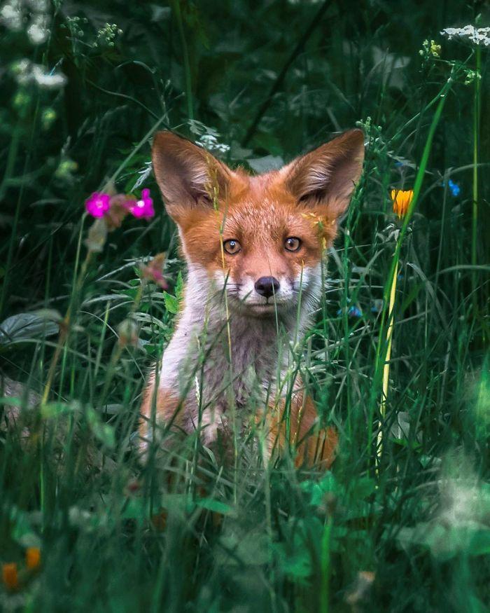 bộ ảnh đẹp về loài cáo 17-elleman