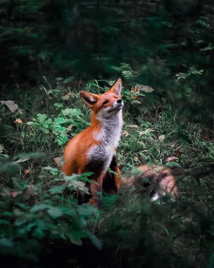 bộ ảnh đẹp về loài cáo 19 -elleman