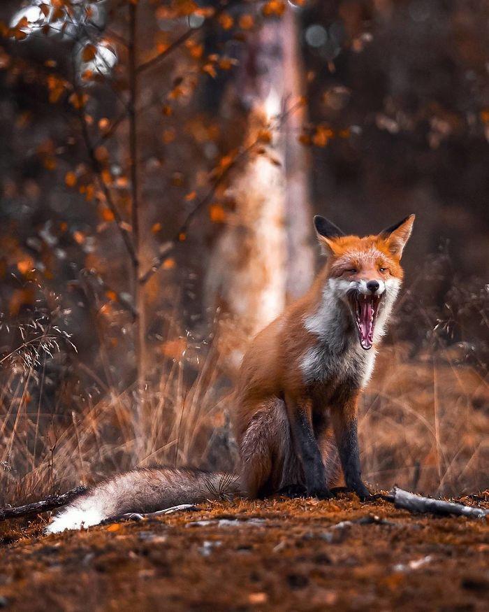 bộ ảnh đẹp về loài cáo 23 -elleman