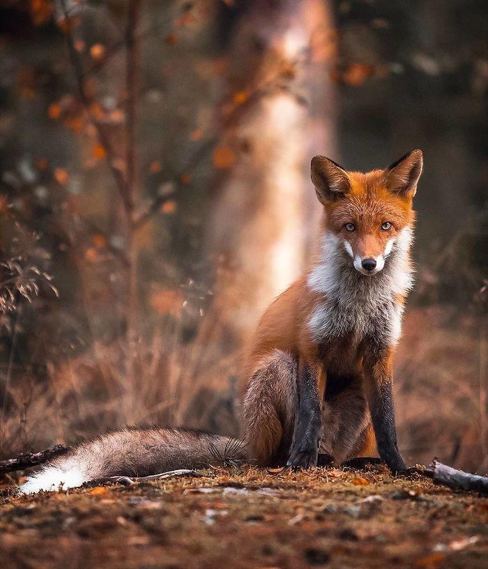bộ ảnh đẹp về loài cáo 4 -elleman