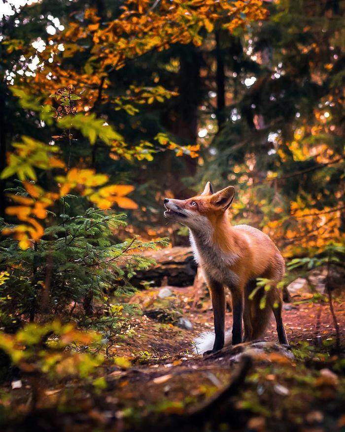 bộ ảnh đẹp về loài cáo 7 -elleman