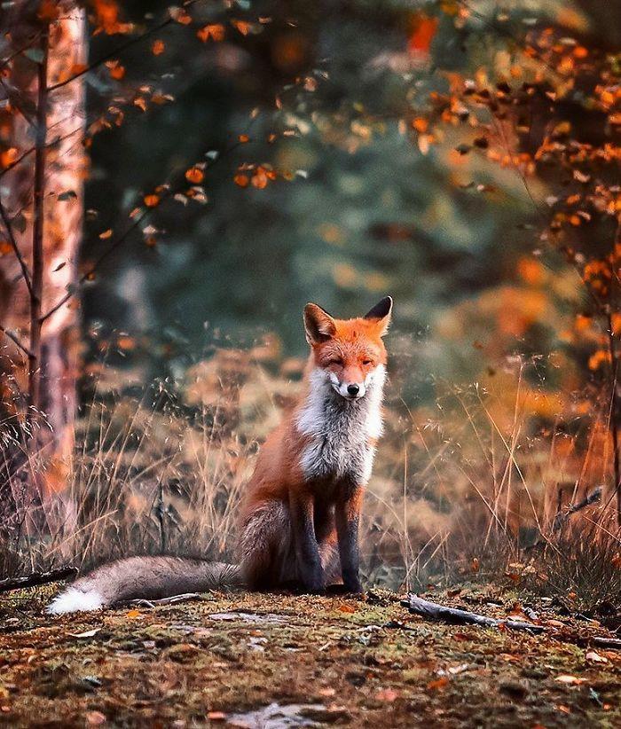 bộ ảnh đẹp về loài cáo 9 -elleman