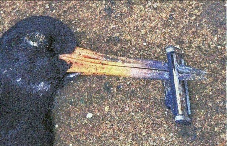 Một chú chim biển bị mắc kẹt đến chết vì chiếc dao cạo? Hình như có anh chàng nào vừa bỏ quên vật dụng của mình thì phải? Ảnh: Whatz Viral