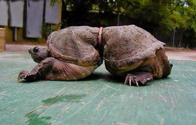 Bằng một cách thần kỳ nào đó, chú rùa đã sống sót dù bị chiếc vòng đỏ chắn ngang bụng. Chất độc da cam ư? Con người đang tạo ra chất độc thế kỷ. Ảnh: Whatz Viral