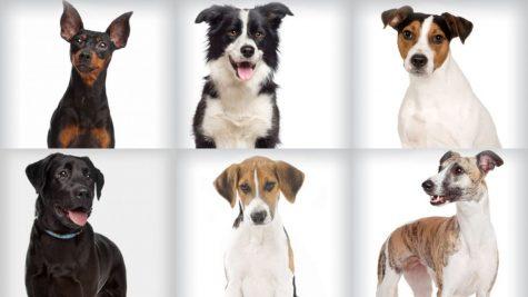 12 giống chó cưng tuyệt vời dành cho nam giới
