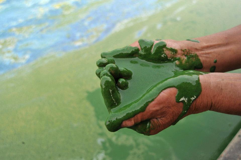môi trường thế giới - tảo xanh ở chaohu