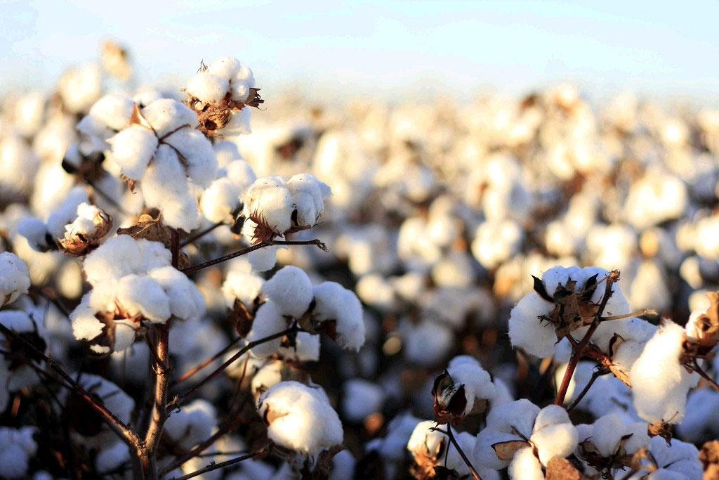 chất liệu cotton