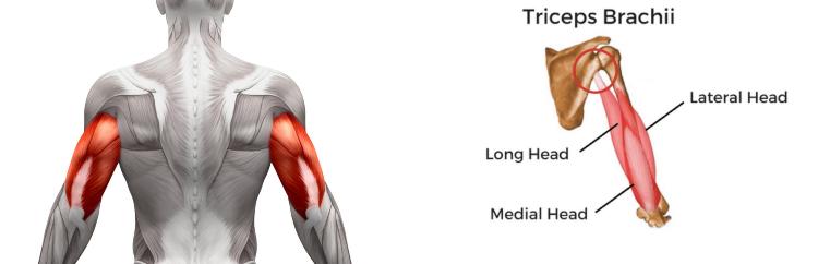 anatomy-cơ tam đầu-elleman-1119-barbend