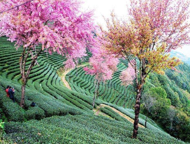 Vân Nam - nơi được cho là khởi sinh của lá trà Camellia Sinensis.